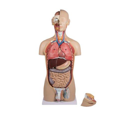 Torso-Modell mit geöffnetem Rücken, zweigeschlechtig, 27-tlg