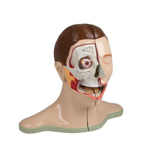 Kopf und Nacken-Modell, 5-tlg