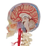 Skull Model BONElike, Half Transparent & Half Bony, Brain & Vertebrae - 3B Smart Anatomy