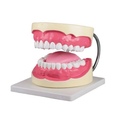 Oral hygiene model, 3 times life-size