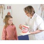 Zahnpflege-Modell, 3-fache Größe