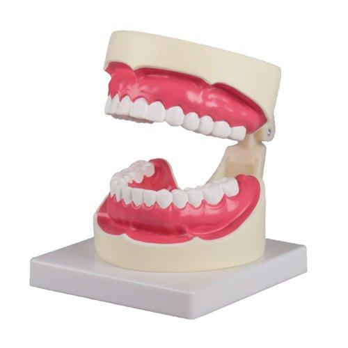 Oral hygiene model, 1.5 times life-size