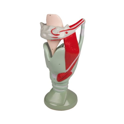 Functional larynx model, 4 times life-size