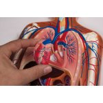 Blutkreislauf Relief-Modell, 1/2 natürliche Größe, 2-tlg
