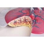 Placental circulation model
