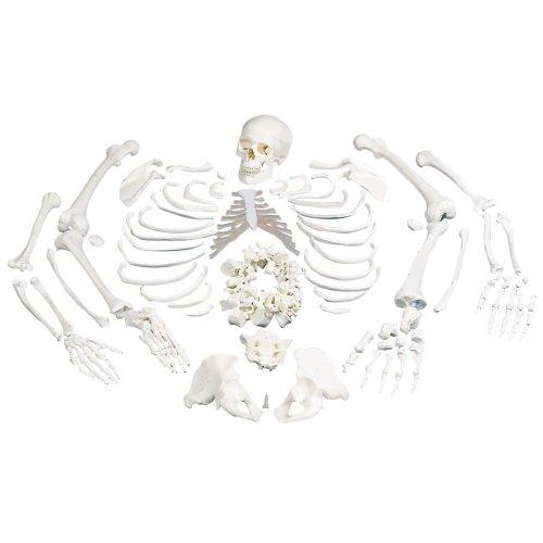 Skelett-Modell, unmontiert - 3B Smart Anatomy