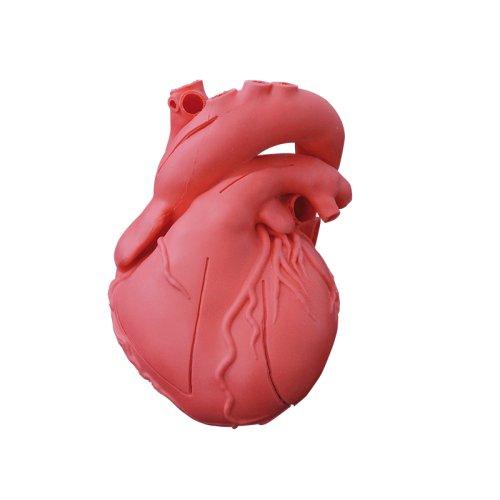 Heart model, flexible, didactical version