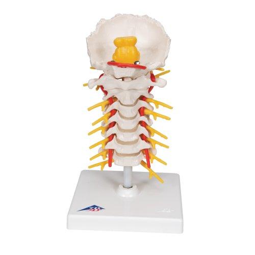 Halswirbelsäulen-Modell, beweglich auf Stativ - 3B Smart Anatomy