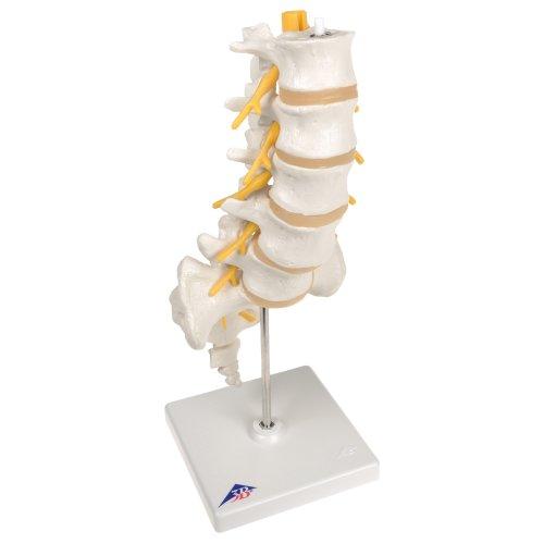 Lendenwirbelsäulen-Modell, beweglich auf Stativ - 3B Smart Anatomy