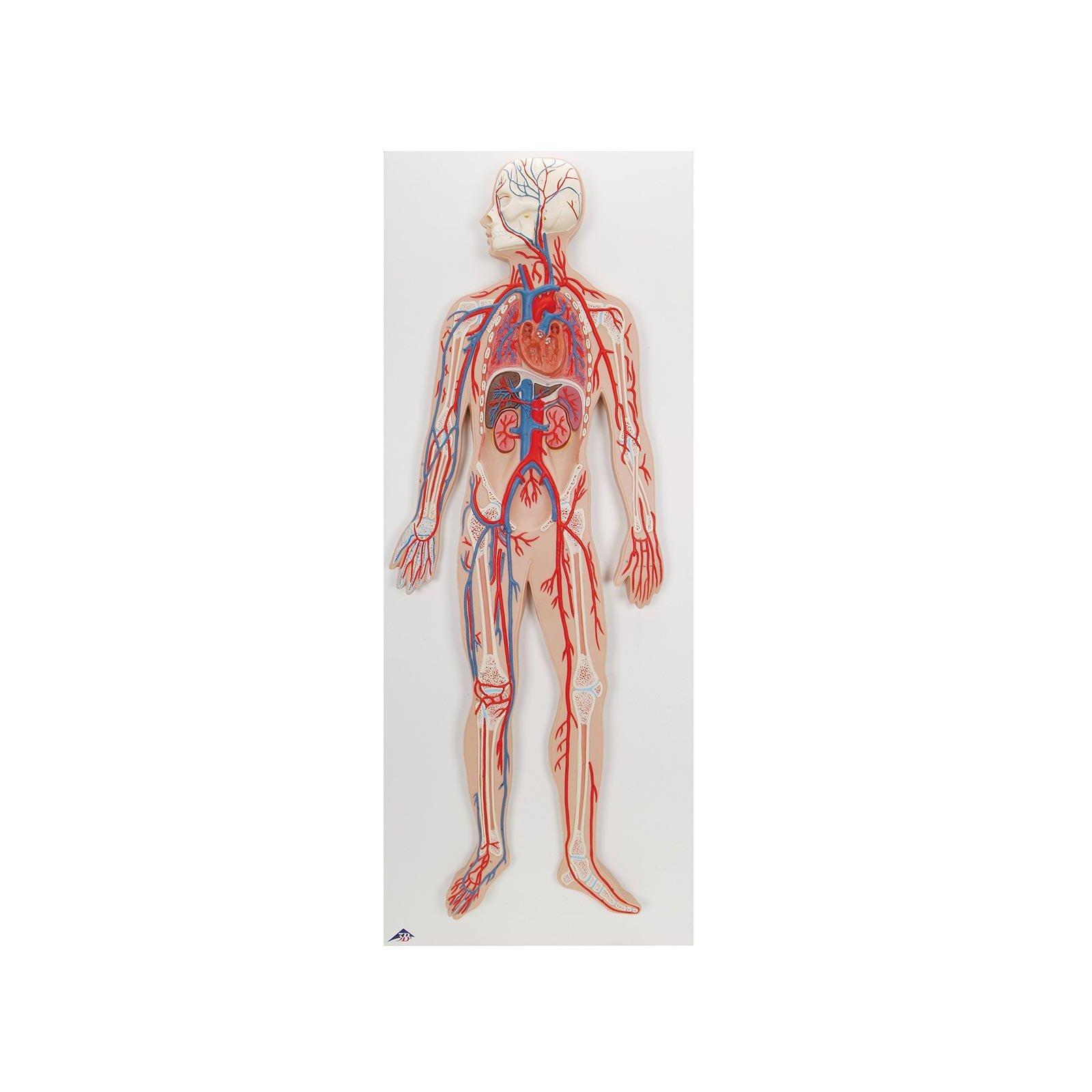 картинка кровеносной системы человека сосуды и сердце сериале