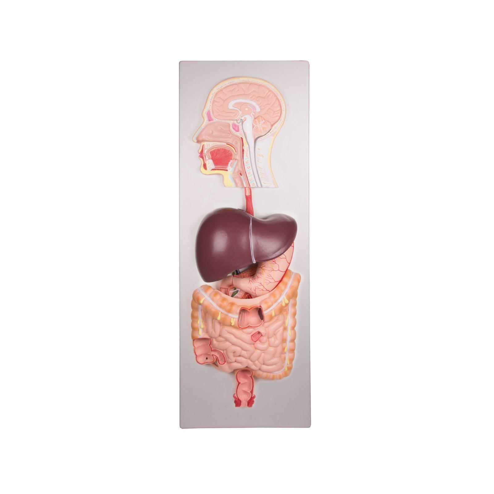 Human Digestive System 5 Parts K221
