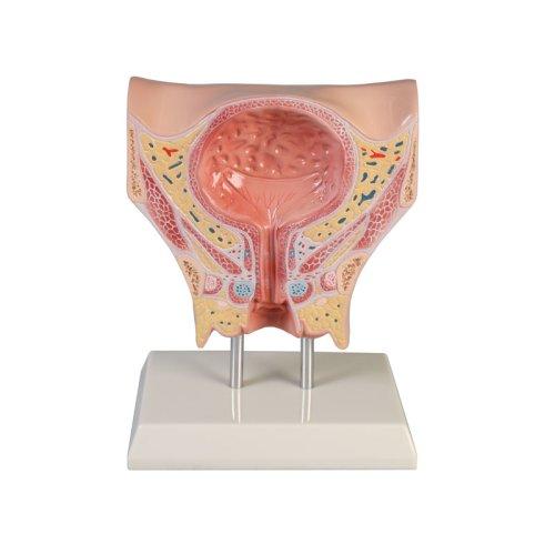 Female bladder model