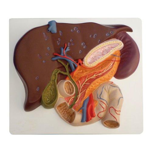 Leber-Modell mit Gallenblase, Pankreas und Duodenum